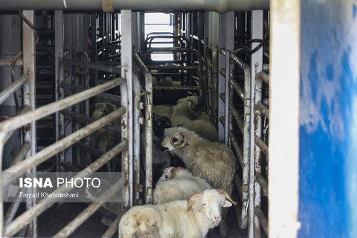 واردات گوسفند از رومانی با کشتی (عکس) - 1