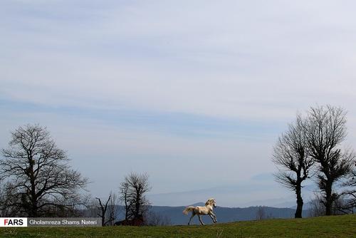 اسبهای وحشی در جنگل دالخانی مازندران (عکس) - 12