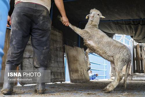 واردات گوسفند از رومانی با کشتی (عکس) - 12
