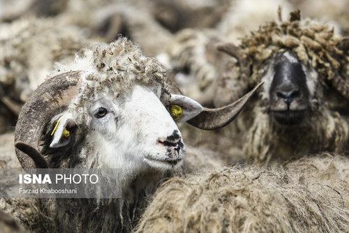 واردات گوسفند از رومانی با کشتی (عکس) - 4