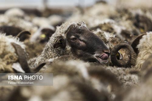 واردات گوسفند از رومانی با کشتی (عکس) - 6