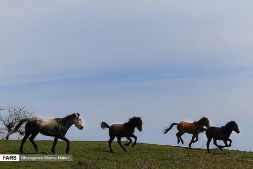 اسبهای وحشی در جنگل دالخانی مازندران (عکس) - 1