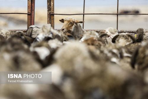 واردات گوسفند از رومانی با کشتی (عکس) - 5