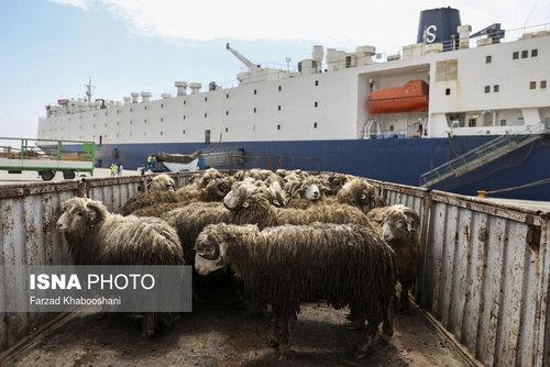 واردات گوسفند از رومانی با کشتی (عکس) - 2