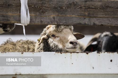 واردات گوسفند از رومانی با کشتی (عکس) - 8