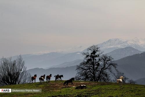 اسبهای وحشی در جنگل دالخانی مازندران (عکس) - 13