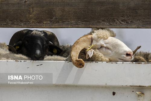 واردات گوسفند از رومانی با کشتی (عکس) - 11