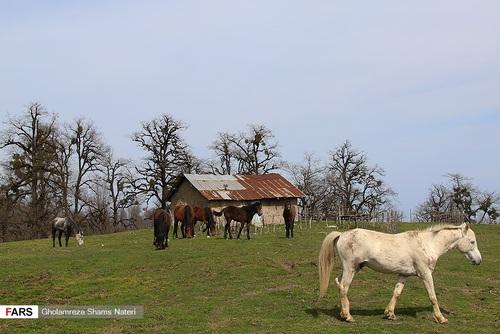 اسبهای وحشی در جنگل دالخانی مازندران (عکس) - 11