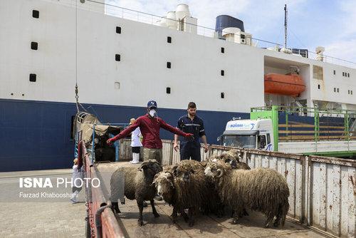واردات گوسفند از رومانی با کشتی (عکس) - 9
