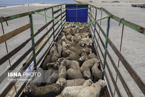 واردات گوسفند از رومانی با کشتی (عکس) - 10