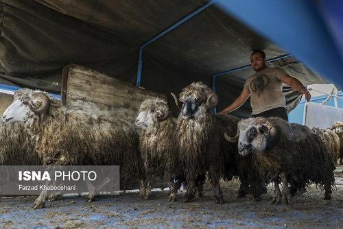 واردات گوسفند از رومانی با کشتی (عکس) - 0