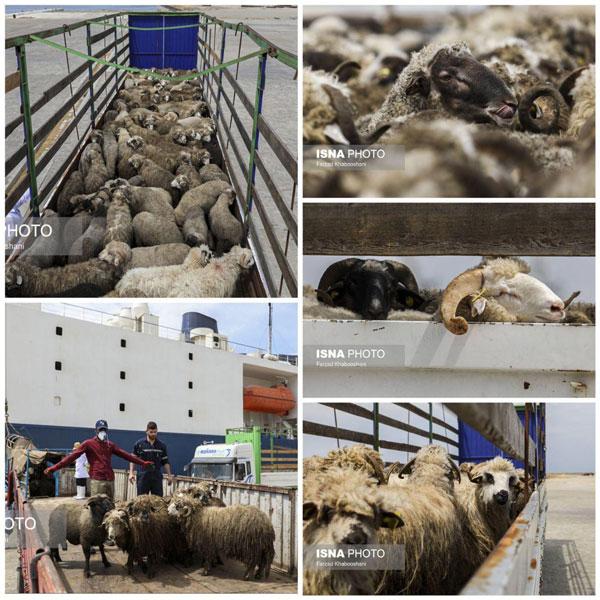 واردات گوسفند از رومانی به ایران - 2