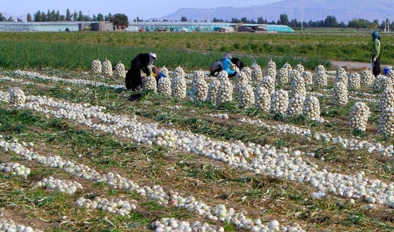 ستاد تنظیم بازار: صادرات سیب زمینی و پیاز از ۱۵ فروردین ممنوع است - 0