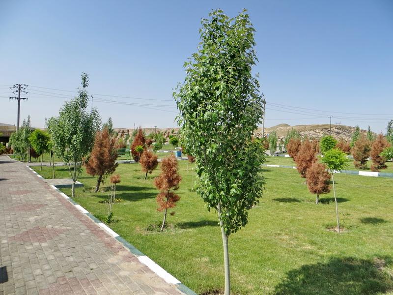 یک متخصص فضای سبز: سرو، کاج و چنار دیگر مناسب تهران نیستند - 0