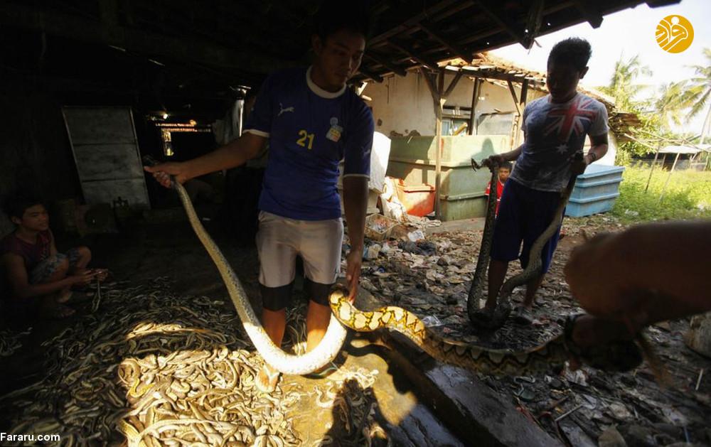 (تصاویر) سلاخی مارها برای ساخت کیف و کفش! - 17