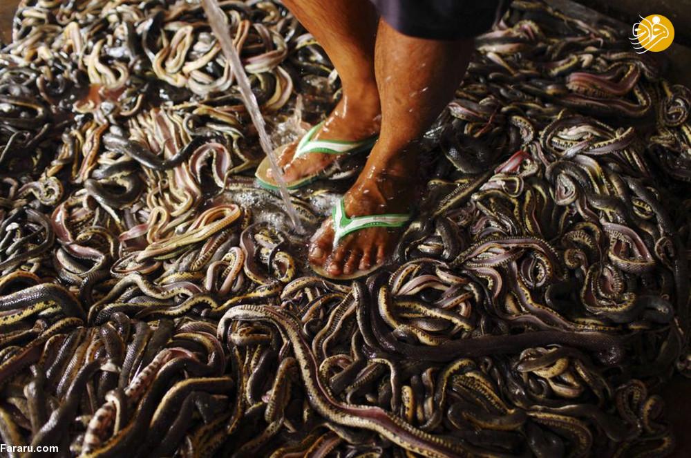 (تصاویر) سلاخی مارها برای ساخت کیف و کفش! - 11