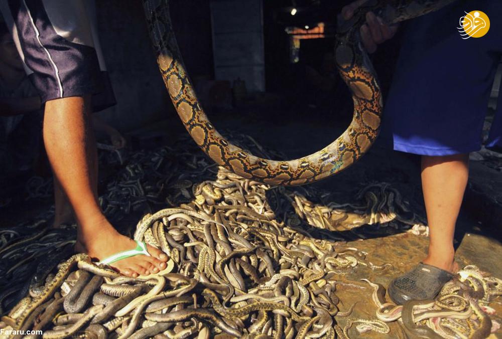 (تصاویر) سلاخی مارها برای ساخت کیف و کفش! - 13