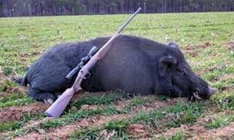 شکارچی گراز در منطقه الموت دستگیر شد