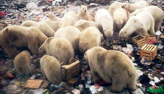 هجوم خرسهای قطبی در روسیه و اعلام وضعیت اضطراری - 4
