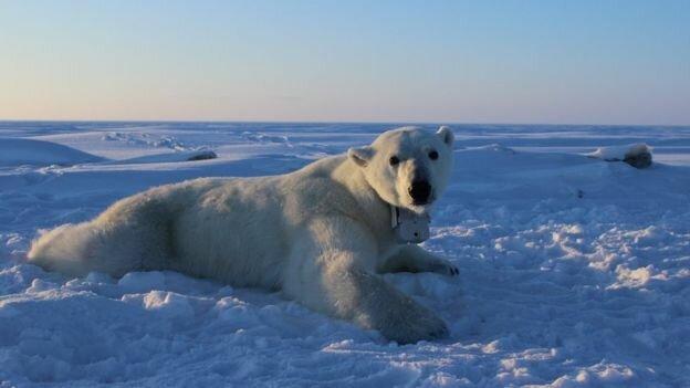 هجوم خرسهای قطبی در روسیه و اعلام وضعیت اضطراری