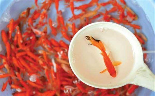 عواقب داشتن ماهی قرمز در سفره هفتسین/ همه چیز درباره موجودی که حیاتش تنها چند روز است