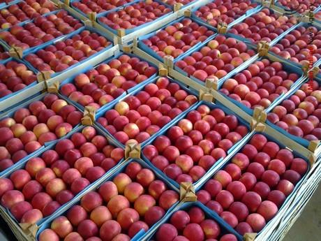 قیمت و صادرات سیب با هم افزایش یافت! - 0