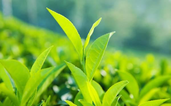 12 نوع ماسک چای سبز ، هر پوست ماسک مخصوص - 12