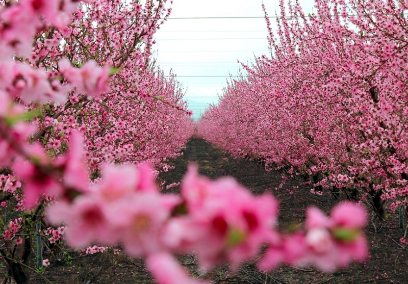 دریای شکوفهها در مرز سوریه و ترکیه + عکس - 8