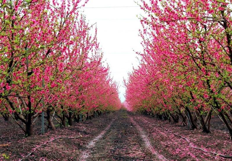 دریای شکوفهها در مرز سوریه و ترکیه + عکس - 2