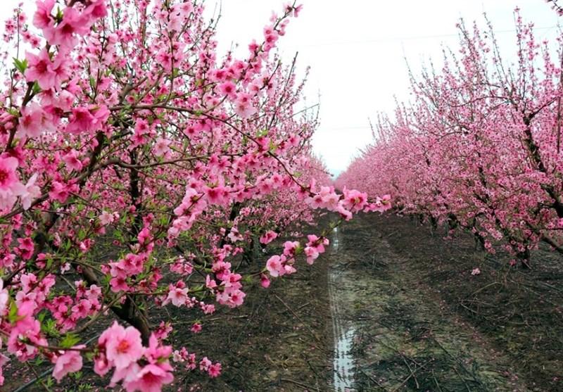 دریای شکوفهها در مرز سوریه و ترکیه + عکس - 9