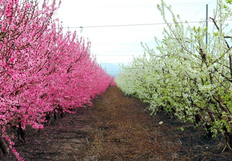 دریای شکوفهها در مرز سوریه و ترکیه + عکس - 4