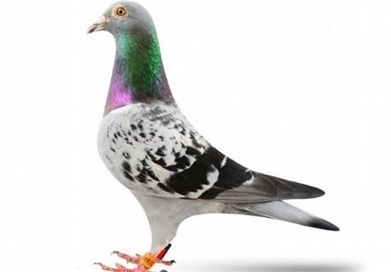 کبوتر بلژیکی ۱۴ میلیارد تومان فروخته شد!